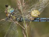 Emperor dragonfly caught by cross spider — Stock Photo