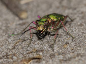 Close up of green sand beetle — Stock Photo