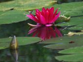 Red Waterlily in the pond — Stock Photo