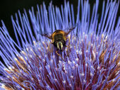 Hoverfly on blue flower — Stock Photo