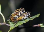 Close up of Mating hoverfly — Stock Photo