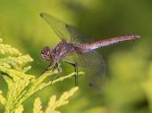 Close-up Dragonfly — Stock Photo