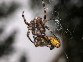 Spider with prey - macro close — Foto Stock