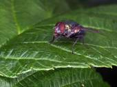 Fly sitting on green leaf — Stock Photo