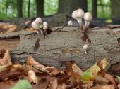 Toadstool mushroom — Stock Photo