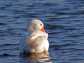 White goose in the water — Stock Photo