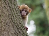 Young curious berber monkey — Stock Photo