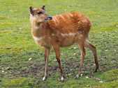 Close up of deer in the field — Stock Photo