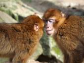 Berber Monkeys kissing — Stock Photo