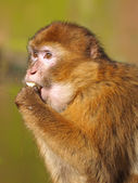 Berber monkey looking away — Stock Photo