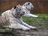 White tigers close up — Stock Photo