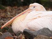 Pelican close up — Stock Photo