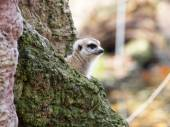 Close up of Meerkat at zoo — Stock Photo