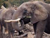 African elephant close up — Stock Photo