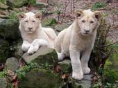Portrait of a White lions — Stock Photo