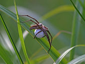 Spider with egg — Stock Photo