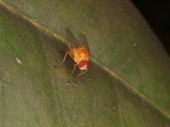 Brown fly on a green leaflet — Stock Photo