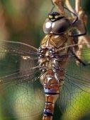 Libellula quadrimaculata - Chaser — Stock Photo