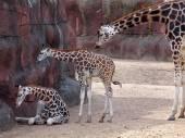 Three Giraffes in the zoo — Stock Photo