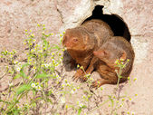 Two lovely Dwarf Mongooses — Stock Photo