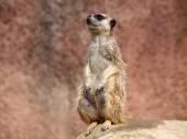 Meerkat standing — Stock Photo
