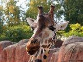 Close-up Young giraffe — Stock Photo