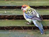 Portrait photo of marlock parakeet — ストック写真