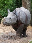 White rhino at the zoo — Stock Photo