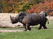 Rhinoceros grazing — Photo