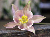 Pink Columbine flower — Stock Photo