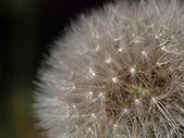 Closeup of dandelion — Stock Photo