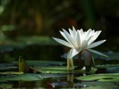 White waterlily — Stock Photo