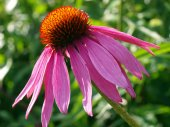 Echinacea purpurea — Stock Photo