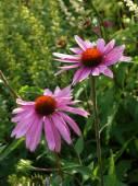 Echinacea purpurea — Stock Photo