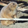 Close up of Prairie dog — Stock Photo #62349719