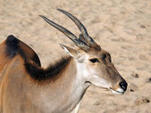 Close up of Taurotragus oryx — Stock Photo