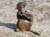 Young baboon sitting on sand — Stock Photo