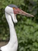 Close up of wattled crane — Stock Photo