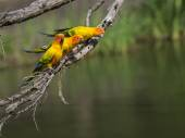Sun parakeets on branch — Stock Photo