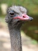 Close up of ostrich — Stock Photo
