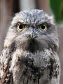 Close up of Tawny Frogmouth — Stock Photo