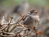 Sparrow sitting on tree branch — Stock Photo