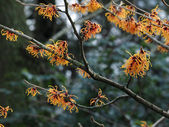 Close up of witch hazel — Stock Photo
