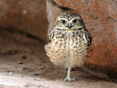 Close up of burrowing owl — Stock Photo