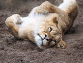 Lion laying on back — Stock Photo
