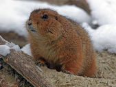 Close up of prairie dog — Stock Photo