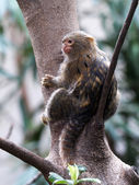Pygmee monkey on tree — Stock Photo