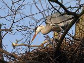 Blue heron on tree — Stock Photo