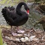 Black Swan with eggs — Stock Photo #62356601