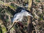 Nycticorax on the tree — Stock Photo